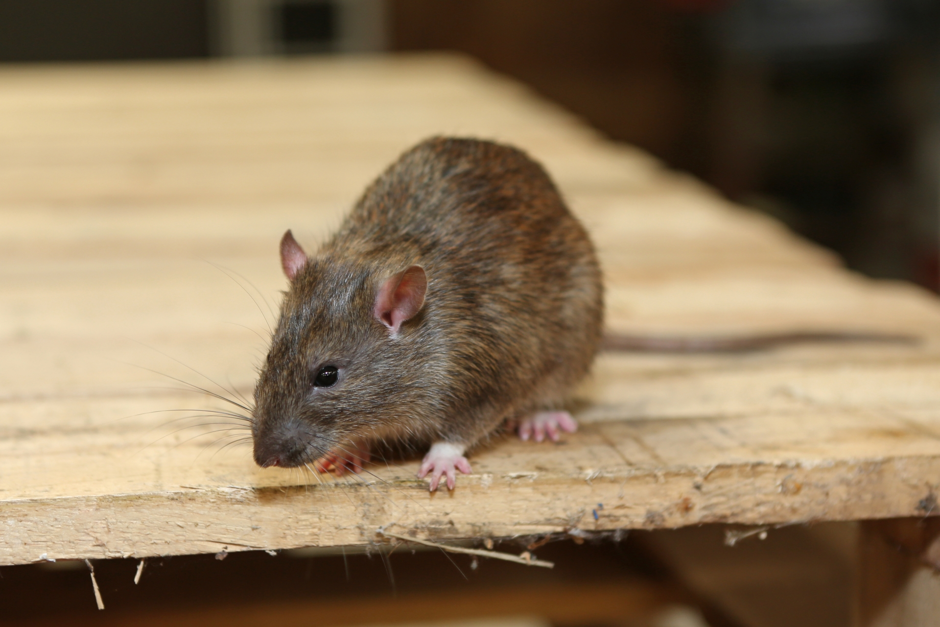 Rat Control, Pest Control in Woodford Green, Woodford, IG8. Call Now 020 8166 9746
