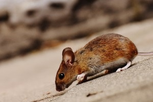 Mice Exterminator, Pest Control in Woodford Green, Woodford, IG8. Call Now 020 8166 9746