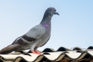 Pigeon Pest, Pest Control in Woodford Green, Woodford, IG8. Call Now 020 8166 9746