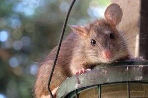 Rat extermination, Pest Control in Woodford Green, Woodford, IG8. Call Now 020 8166 9746